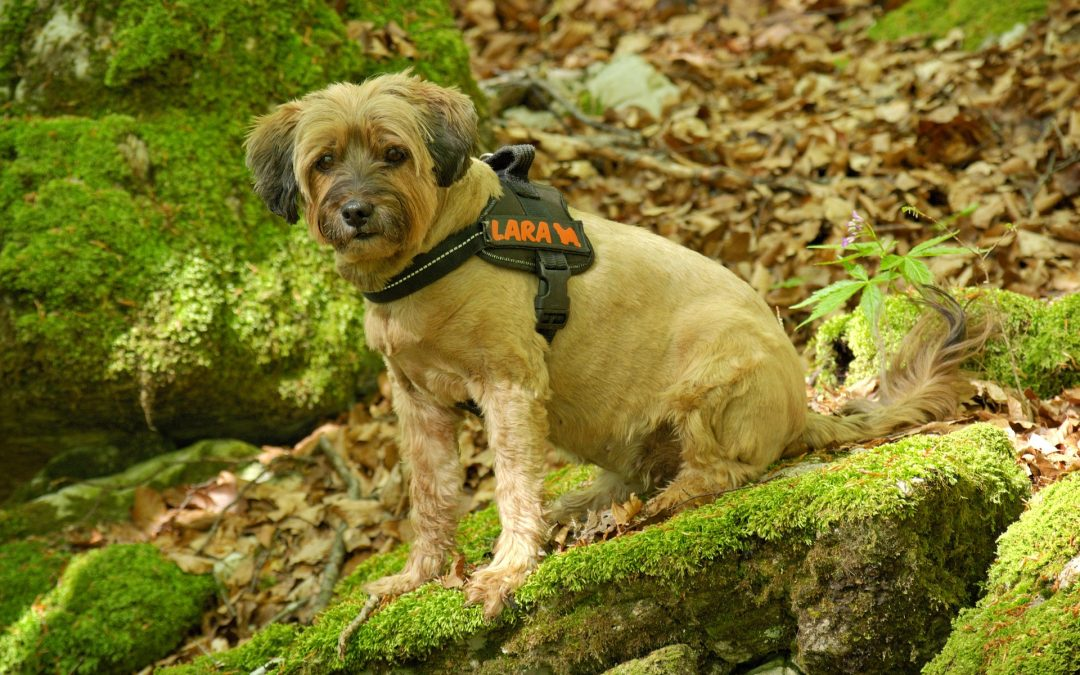 Selecting The Right Dog Harness With Retractable Leash For Your Dog